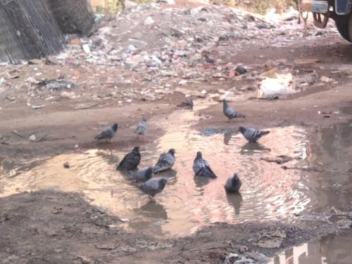 कबुतरांची आंघोळ